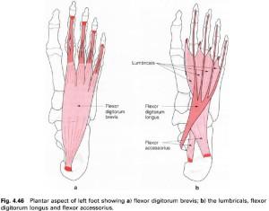flexor digitorum brevis tendon strain